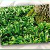 Bärlauch: Heimisches Hexenkraut gegen Frühjahrsmüdigkeit